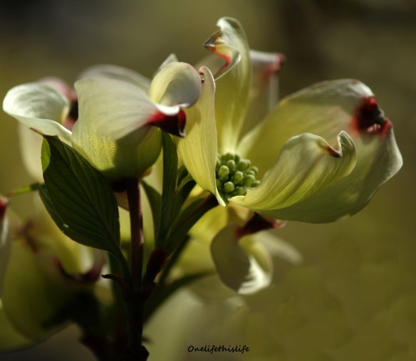 Flower of a Dogwood Tree